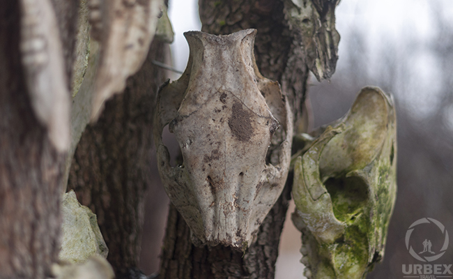 identifying animal skulls